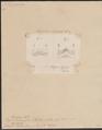 Trygon sephen - detail - 1700-1880 - Print - Iconographia Zoologica - Special Collections University of Amsterdam - UBA01 IZ14200099.tif