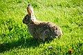 Tukwila, WA - Rabbits near W. Marginal Way and S 102nd Street 04.jpg