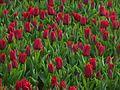Tulip 1290140 2.jpg