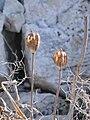 Tulipa agenensis dry capsules.jpg