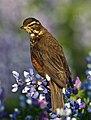 Turdus iliacus -Iceland-8 (1).jpg