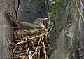 Turdus rufiventris breeding.jpg