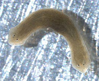 <i>Dugesia japonica</i> Species of flatworm