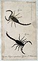 Two scorpions; Tityus nepulosus and Tityus hottentotta. Colo Wellcome V0022428EL.jpg