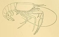 Typhlocaris galilea - plate from Transactions of the Linnean Society of London - CROP.jpg