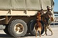 US Navy 030302-N-5362A-004 Military working dog, Camp Patriot, Kuwait.jpg
