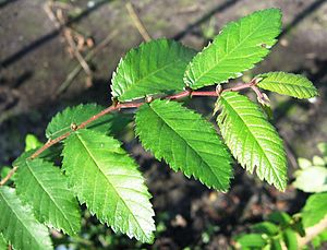 Ulmus alata - Leaves of U. alata