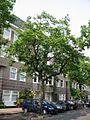 Ulmus glabra Cornuta (amsterdam milletstraat) 030601a.jpg
