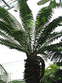 Unidentified cycad in greenhouse.jpg