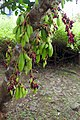 Végétation à la roça São João dos Angolares (São Tomé) (5).jpg