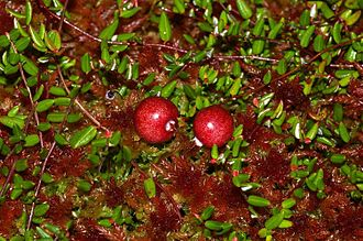 Vaccinium oxycoccos - fruit on a bed of Sphagnum rubellum