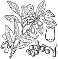Vaccinium corymbosum L. Highbush blueberry.tiff