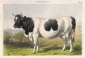 Fribourgeoise - Fribourgeoise cow in an engraving from 1859