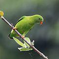 Vernal hanging parrot (22054978204).jpg