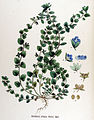 Veronica opaca — Flora Batava — Volume v17.jpg