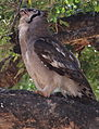 Verreaux's eagle-owl, or giant eagle owl, Bubo lacteus eating a snake at Pafuri, Kruger National Park, South Africa (20497265428).jpg