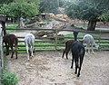 Vicugna pacos in Zoo Krefeld (2).JPG