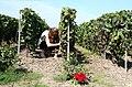 Vignoble de Bouzy.jpg
