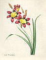 Vintage Flower illustration by Pierre-Joseph Redouté, digitally enhanced by rawpixel 25.jpg
