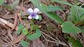 Viola hederacea (15498384523).jpg