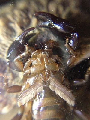 Scorpion - Ventral view of an unidentified scorpion species where the pectines can easily be observed with a comb like structure in an inverted V shape.