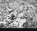 Vogels , boomvalk, Bestanddeelnr 193-0867.jpg
