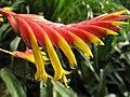 Vriesea carinata (TS) 2-00736.jpg