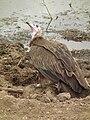 Vulture in Tanzania 3091 Nevit.jpg