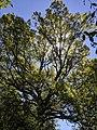 WW Willow Oak TMS.jpg