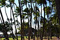 Waikiki Coconut Palms (7733351568).jpg