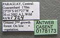 Wasmannia auropunctata casent0178173 label 1.jpg