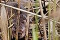 Water Vole - RSPB Fowlmere (34286164735).jpg