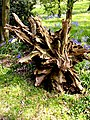 Weathered tree stump near Hambledon - geograph.org.uk - 437544.jpg