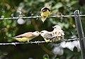 Western Kingbird (fledges and parents) (29748125838).jpg