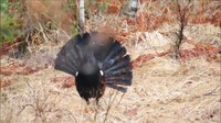 File:Western capercaillie (Tetrao urogallus), Norway.webm