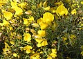 Whin (gorse) in bloom - geograph.org.uk - 595288.jpg