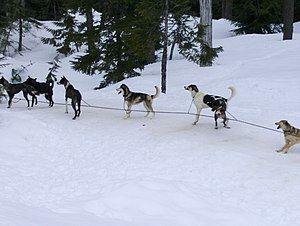 Whistler sled dog cull - Sled dogs in Whistler, British Columbia
