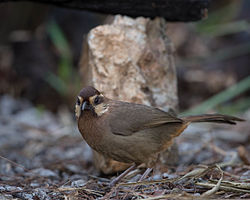 White-browed Laughingthrush.jpg