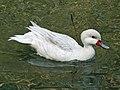 White-cheeked Pintail white morph SMTC.jpg