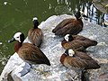 White-faced Whistling Duck, Dendrocygna viduata 4, JBP, Nov 06.JPG