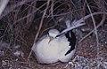 White-tailded tropic bird.lsclerodactyly macrostachyum (37983408215).jpg