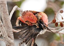 what is the purpose of preening