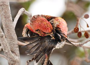 Uropygial gland - White-winged crossbill (Loxia leucoptera) extracting preen oil from its uropygial gland.