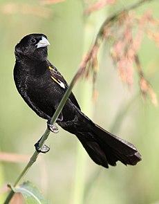 White-winged widowbird, Euplectes albonotatus, at Zaagkuildrift Road near Kgomo Kgomo, Limpopo, South Africa (31579516245).jpg