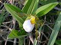 White Lady's Slipper (Cypripedium candidum) - Flickr - Jay Sturner (2).jpg
