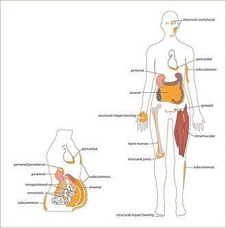 White adipose tissue - Distribution of white adipose tissue in the human body.