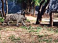 White tiger walking at vandalur zoo.jpg