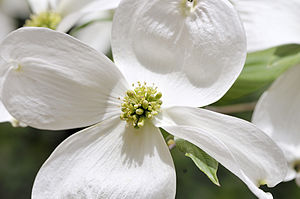 Close-up - A close-up of Cornus florida