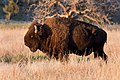 Wichita Mountains Bison2.jpg
