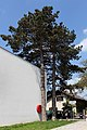 Wien-Penzing - Naturdenkmal 530 - 2 Schwarzkiefern (Pinus nigra).jpg